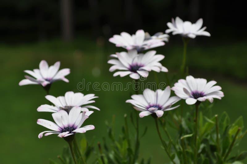 Africain Daisy Plant Species Osteospermum avec les fleurs de floraison photos stock