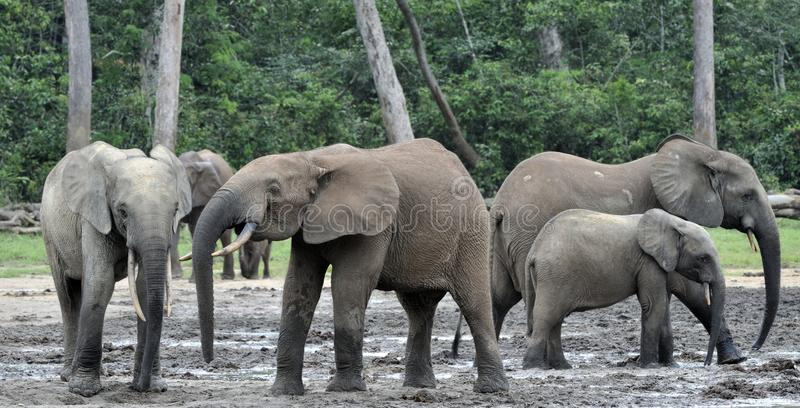 Africain Forest Elephant, cyclotis d'africana de Loxodonta, de bassin du Congo Au centrafricain salin de Dzanga (une clairière de photo stock