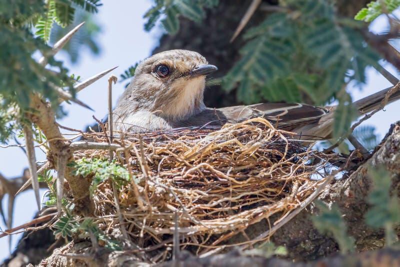 Africain Grey Flycatcher, dans le nid photographie stock libre de droits
