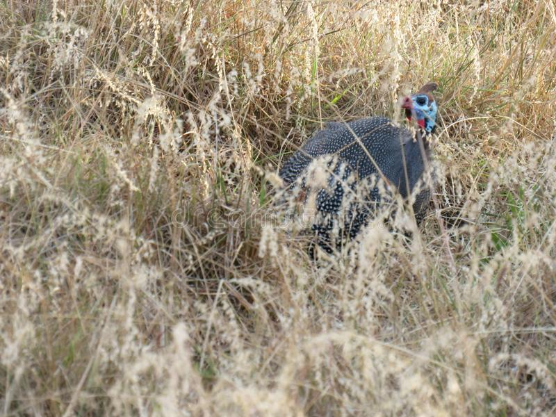 Africain Guineafowl image libre de droits