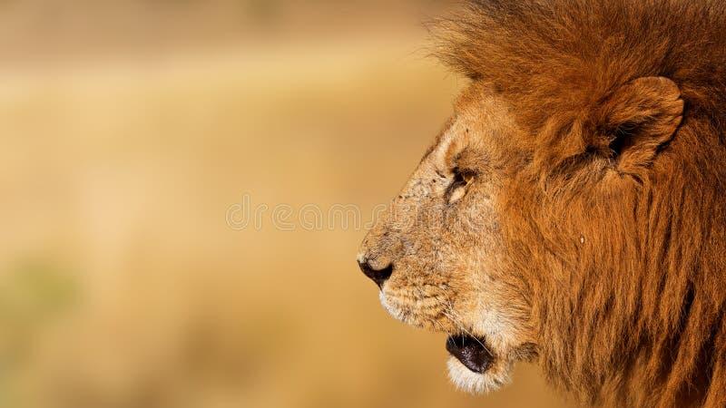 Africain Lion Profile Banner de plan rapproché images stock