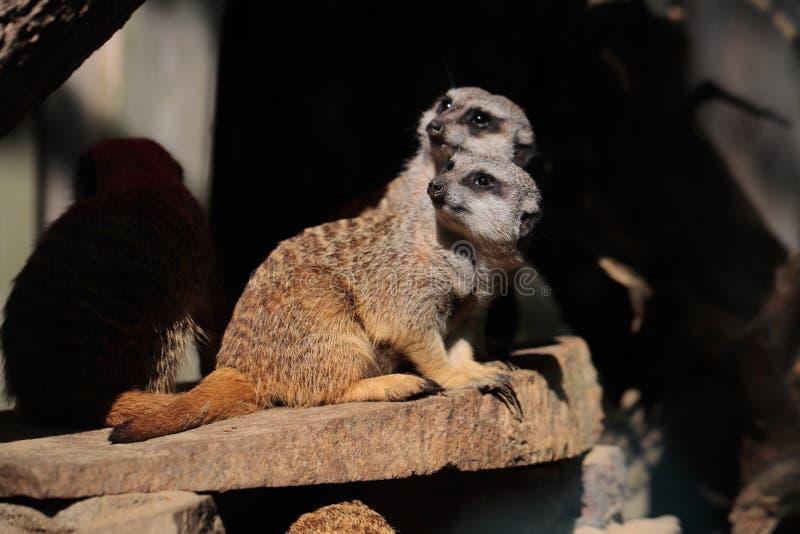 Africain sauvage Meerkats photographie stock libre de droits