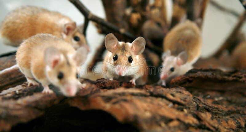 Africain, souris épineuse de désert (cahirus d'Acomys) images libres de droits