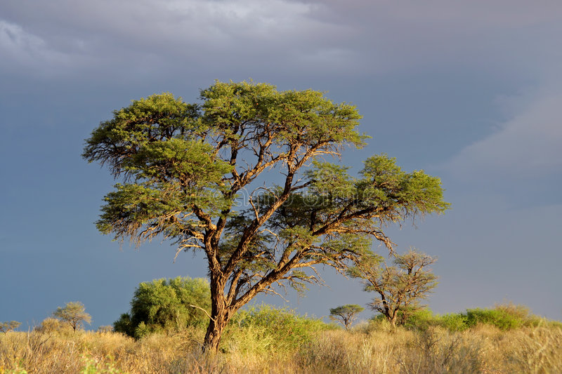 Download African Acacia tree stock photo. Image of morning, light - 7495460