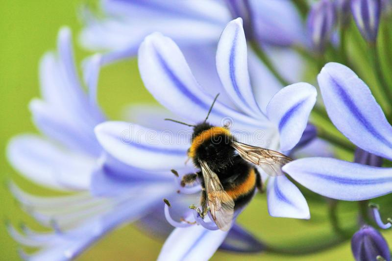 African agapanthus (Agapathus africanus) with bumble bee, stock, photo, photograph, image, picture. Blue,African Lily, African agapanthus ( royalty free stock photo