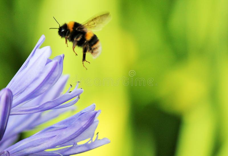 Lily flower bee African agapanthus (Agapathus africanus) with bumble bee. Lily flower bee Blue African, African agapanthus (Agapathus africanus&# stock photos