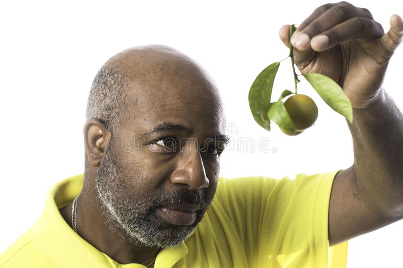 African American Man looking at Orange fruits on a twig with green leaves isolated on white background royalty free stock photography