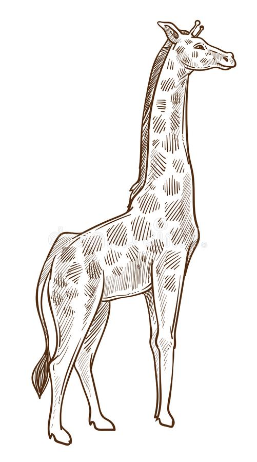 African animal, giraffe isolated sketch, tallest wild mammal. Giraffe isolated sketch, African animal with long neck vector. Tallest mammal pencil drawing vector illustration
