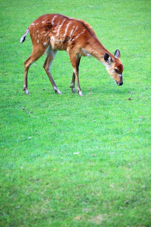 African Animal Sitatunga Tragelaphus Spekii Stock Photography