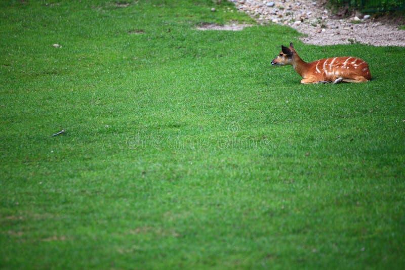 Download African Animal Sitatunga Tragelaphus Spekii Stock Image - Image: 25998239