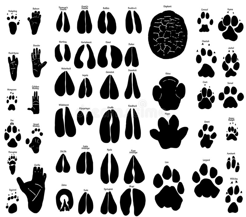 African animal tracks. Large collection of african animal tracks. Includes: aarvark baboon honeybadger rhino bonobo buffalo bushbuck caracal cheetah civet