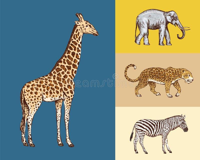 African animals. Elephant Giraffe Leopard Wild zebra. Engraved hand drawn Vintage old monochrome safari sketch. royalty free illustration