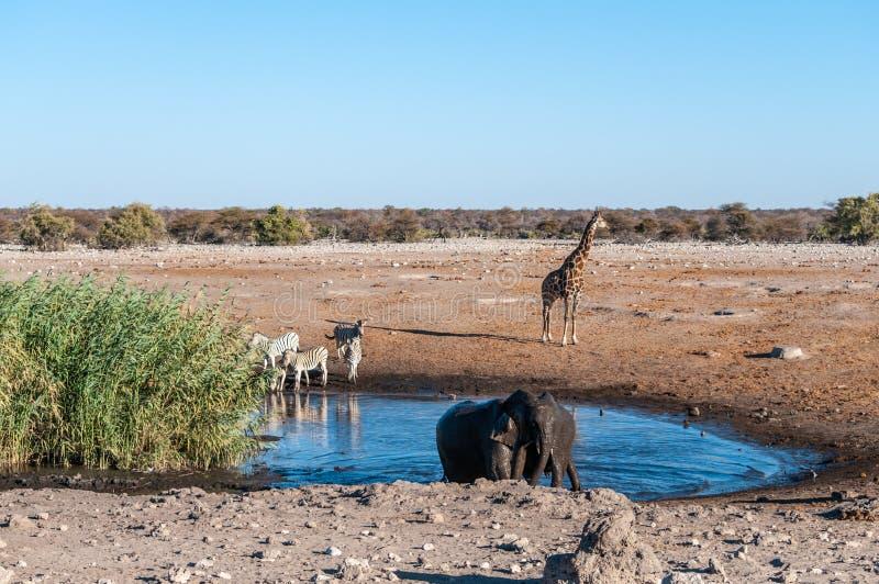 African Animals hanging around a waterhole in Etosha National Park stock photos