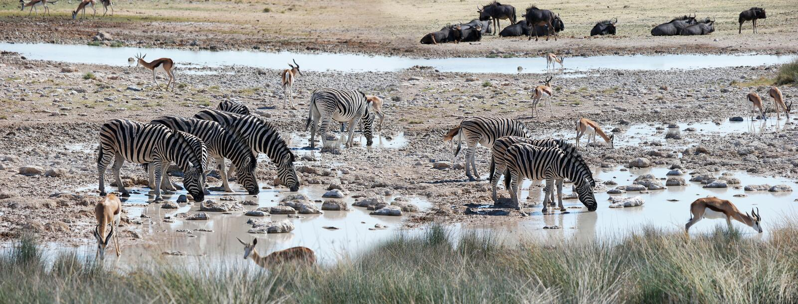 African animals at a watering place stock images