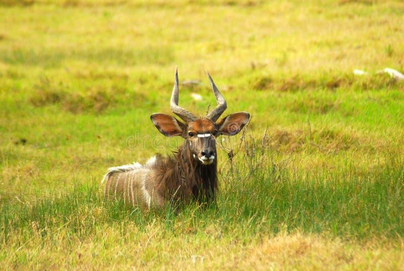 Download African antelope (Nyala) stock image. Image of animals - 9163477