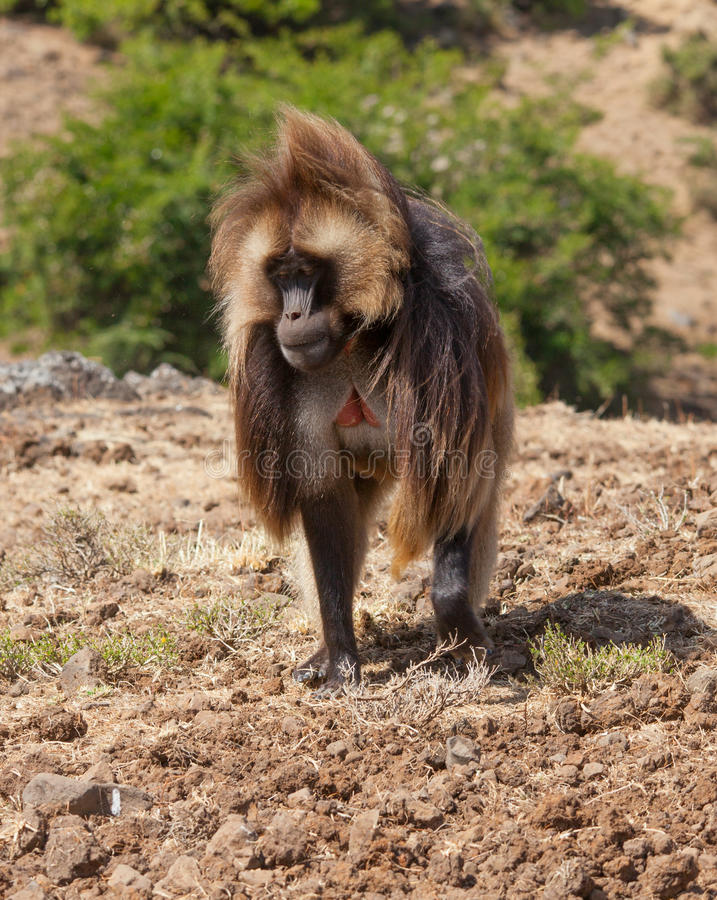 African baboon. In Ethiopia africa royalty free stock photography