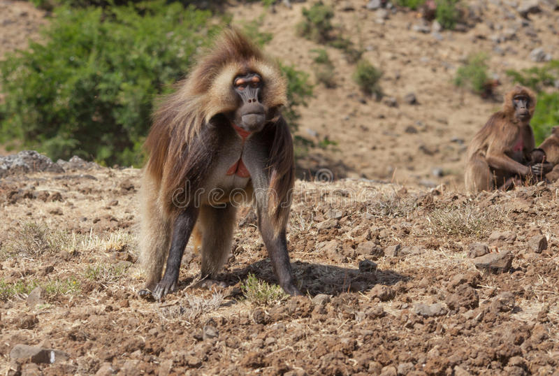 African baboon. In Ethiopia africa stock image