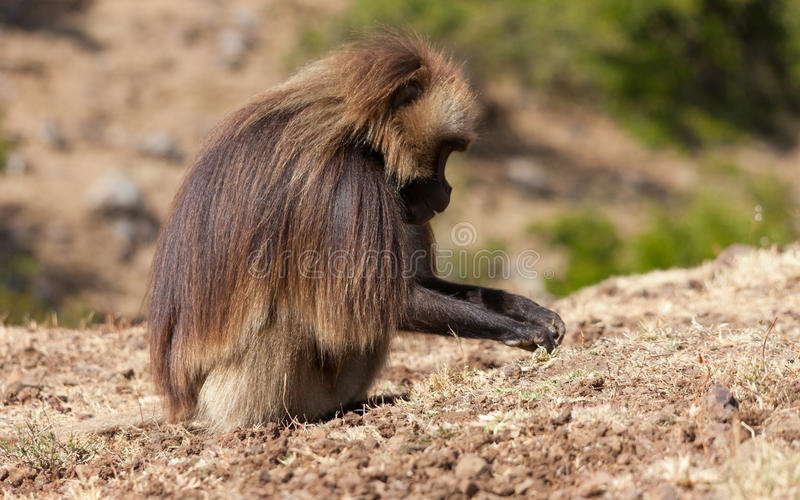 African baboon. In Ethiopia africa royalty free stock images
