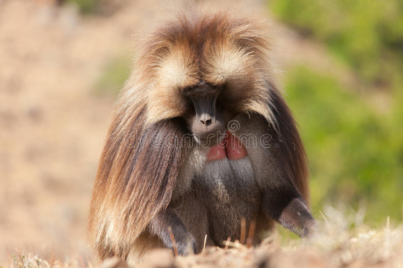 African baboon. In Ethiopia africa stock photography
