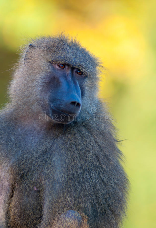 african baboon monkey royalty free stock photo