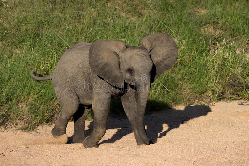 African Baby Elephant royalty free stock photos