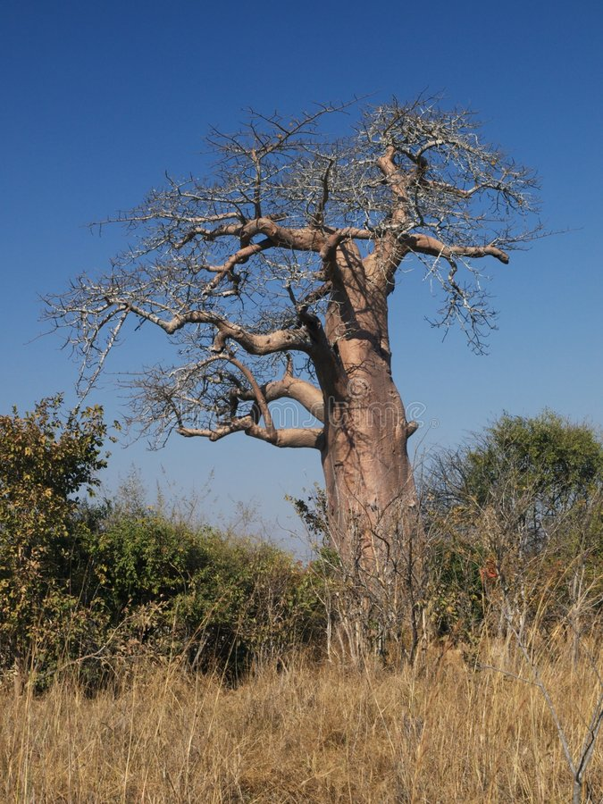 African Baobab stock photography