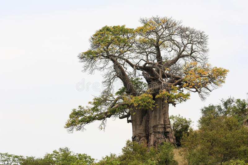 African Baobab Tree. (Adansonia digitata), southern Africa in the Kruger Park royalty free stock photography