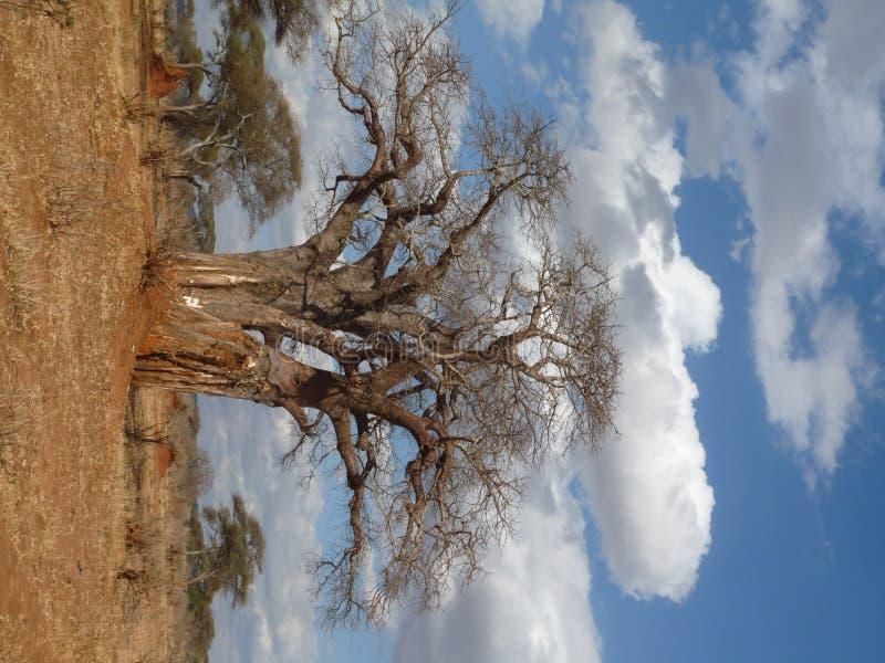 African Baobab tree stock image