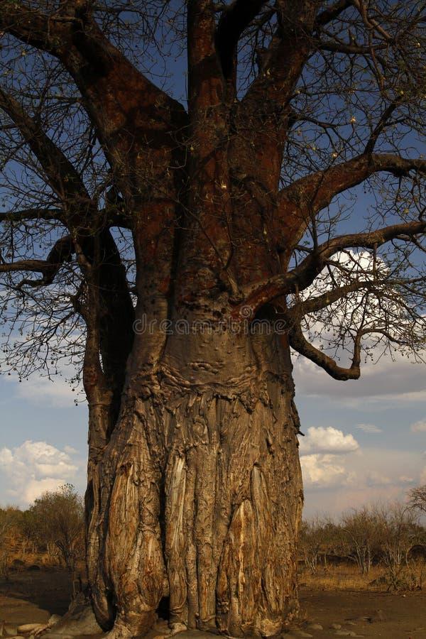 Huge African Baobab Tree Fruiting stock photography