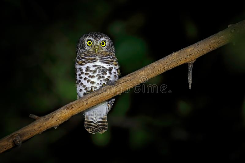 African barred owlet, Glaucidium capense, Bird in the nature habitat in Botswana. Owl in night forest. Animal sitting on the tree. Branch during dark night stock photography