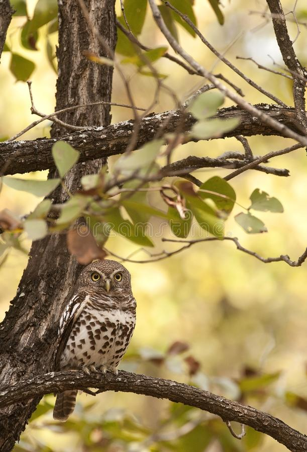 African Barred Owlet royalty free stock photo