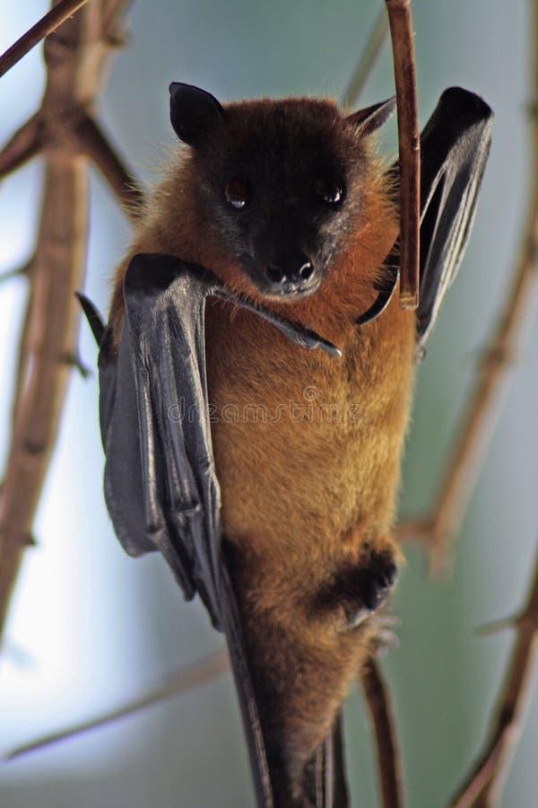 African Bat stock photography