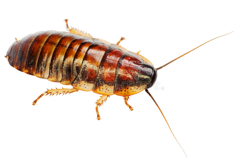 African big cockroach. The African big cockroach on a white background royalty free stock image