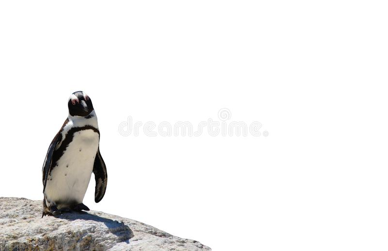 African black-footed penguin standing on a rock isolated on a white background royalty free stock photography