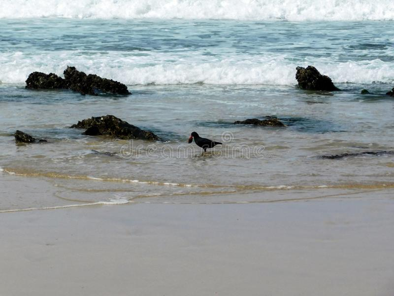 African black oystercatcher feeding in the waves royalty free stock photo
