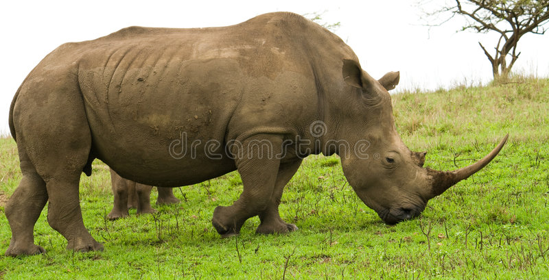 African black rhino. In south africa stock image