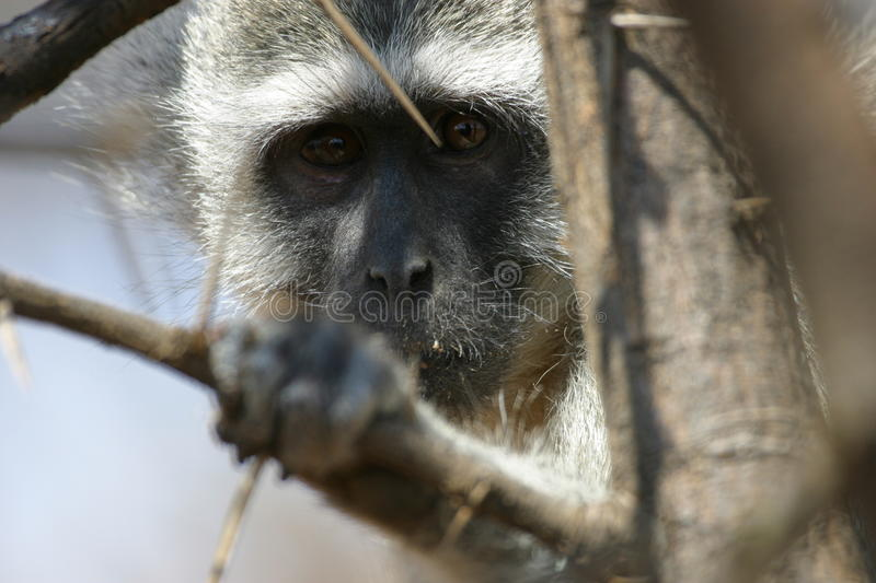 Download African Blue Monkey Face stock photo. Image of monkey - 12155942