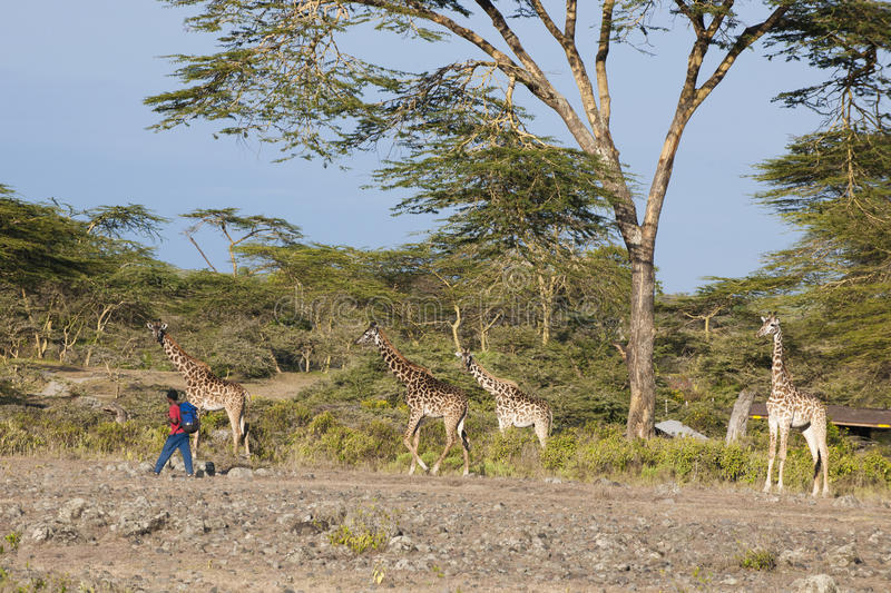 Download African Boy Passing Giraffes Editorial Photo - Image: 30444856