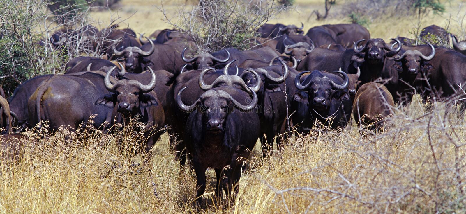 African Buffalo 1. Buffalo herd in the Kruger Park, South Africa