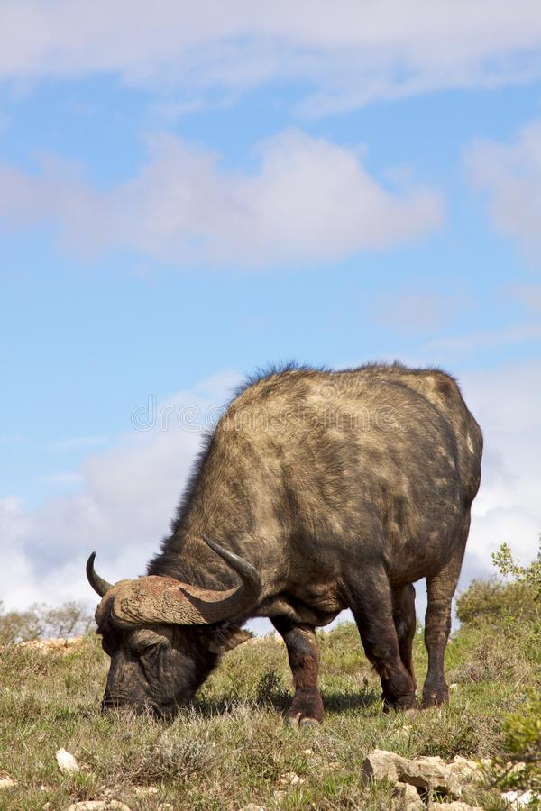 African Buffalo stock photos