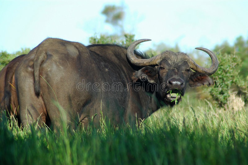 Download African Buffalo stock photo. Image of black, face, looks - 1601490