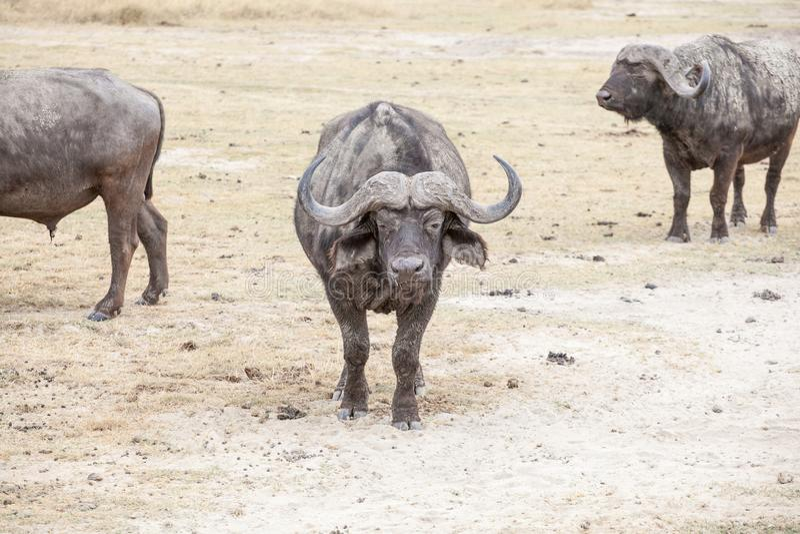 The African buffalo or Cape buffalo stock photography