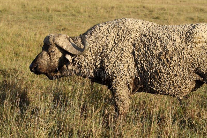 African buffalo dipped in mud, Kenya