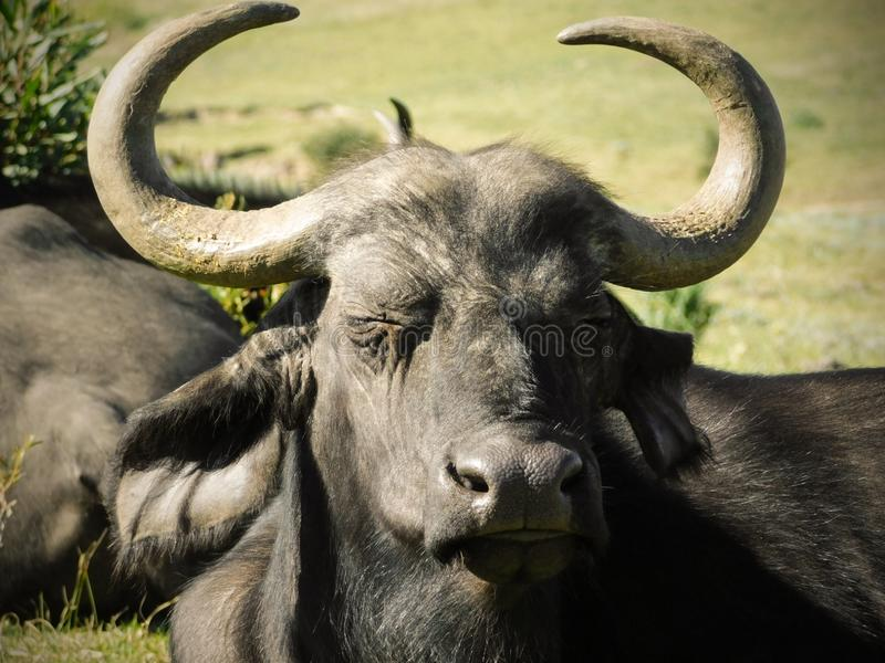 African buffalo dozing in the afternoon sun stock photo
