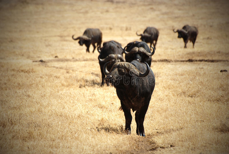 Download African buffalo group stock photo. Image of africa, savannah - 21808506
