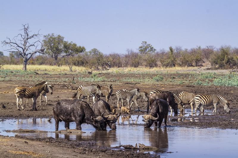 African buffalo in Kruger National park, South Africa. Specie Syncerus caffer family of Bovidae stock photo