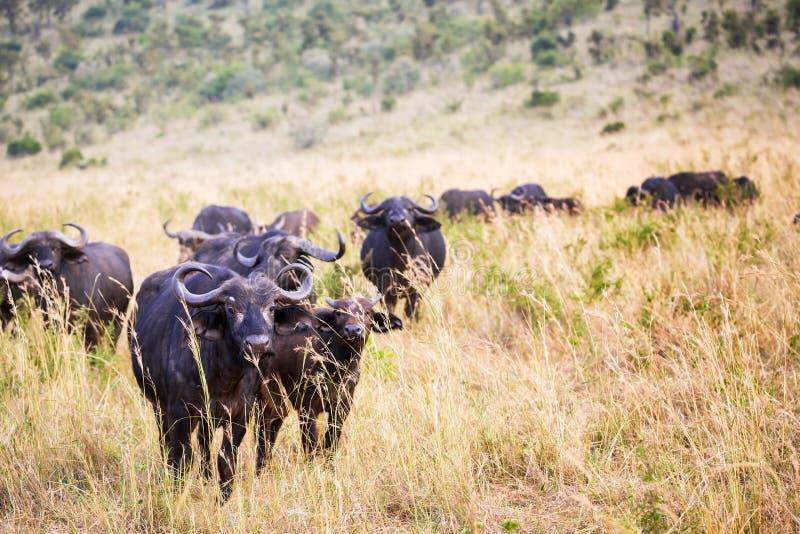 African Buffalo in Masai Mara National Park, Kenya. Safari in Africa stock photos