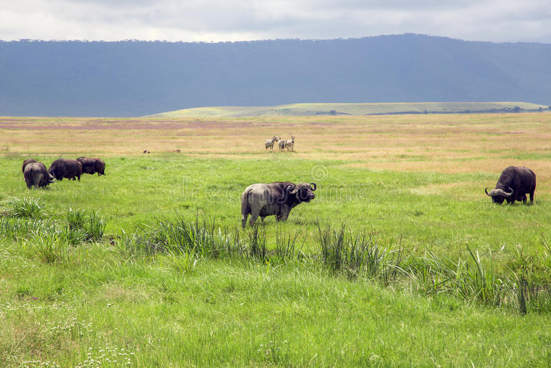African Buffalo in Ngorongoro Crater stock image