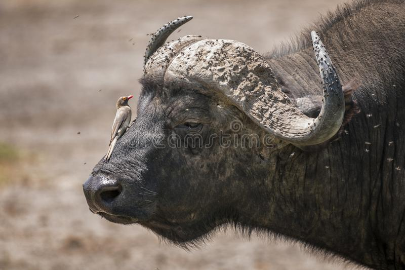 African buffalo with Red-Billed Oxpecker in Lake Nakura National Park ,Kenya. royalty free stock photo