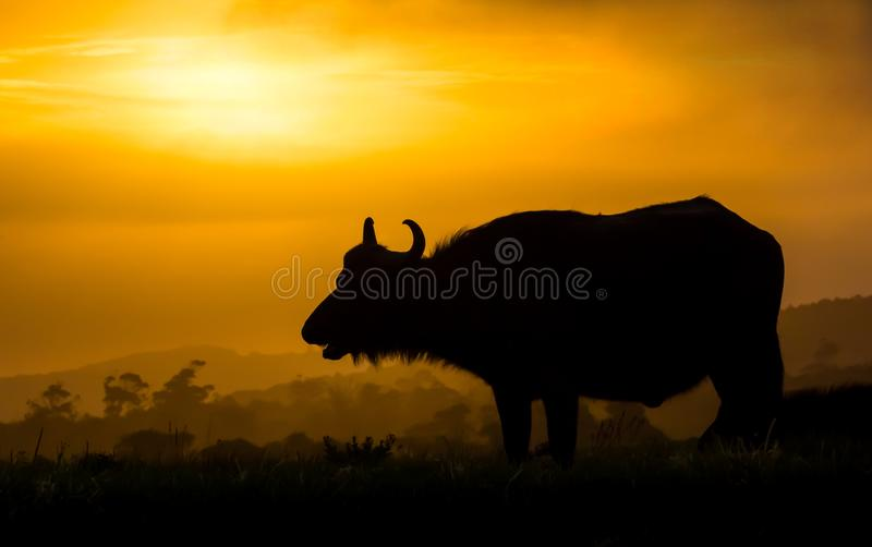 African Buffalo Silhouette at Sunset royalty free stock image